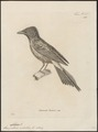 Lamprotornis metallica - 1700-1880 - Print - Iconographia Zoologica - Special Collections University of Amsterdam - UBA01 IZ15800161.tif