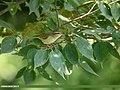 Large-billed Leaf Warbler (Phylloscopus magnirostris) (36700519020).jpg