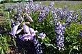 Large-flowered Penstemon and Wild Lupine (27265266980).jpg