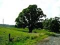 Large Tree in Roadside Field - geograph.org.uk - 217870.jpg