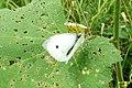 Large white (PK) (7871112062).jpg