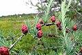 Larix laricina (American Larch), Corea Heath, Gouldsboro, Maine.jpg
