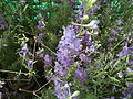 Larkspur or Delphinium from lalbagh 1800.JPG