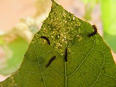 Larvae of Towny Coster(Acraea terpsicore) in the leaf of Passiflora foetida WLB IMG 4715.jpg