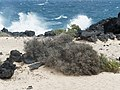 Launaea arborescens Lanzarote (P3261784).jpg