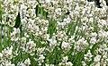 Lavandula angustifolia 'Alba' 1708.jpg