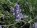Lavandula latifolia DehesaBoyalPuertollano.jpg