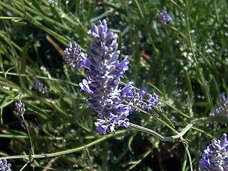<i>Lavandula latifolia</i> species of plant, Spike lavender