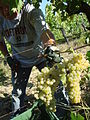 Le Torri - harvest Trebbiano grapes with vine branch intact for Vin Santo drying.jpg