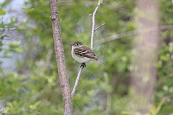 Least Flycatcher (Empidonax minimus) (4687956236).jpg