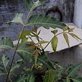 Leaves,young,neem, TamilNadu416.jpeg
