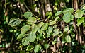 Leaves of Corylus avellana.jpg
