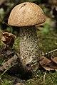 Leccinum scabrum (37027969716).jpg