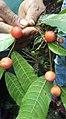 Lechudo (pseudolmedia osyphyllaria).jpg