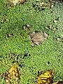 Lemna minor + Spirodela polyrhiza sl1.jpg