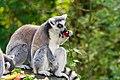 Lemur (37140484862).jpg