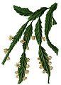 Lepismium houlletianum f regnellii BlKakteenT56.jpg