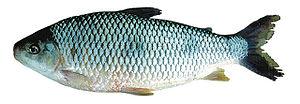 Piau, peixe típico dos rios do Cerrado