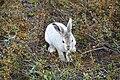 Lepus arcticus (2).JPG