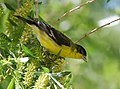 Lesser Goldfinch (33790703581).jpg