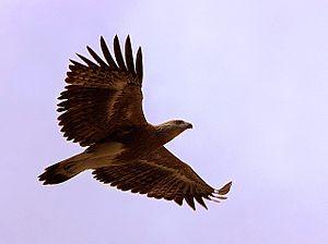 Lesser fish eagle - Image: Lesser fish eagle