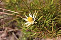 Leucadendron spissifolium natalense 15695964.jpg