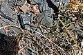 Leucanthemum gallaecicum.JPG