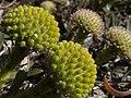 Leucospermum prostratum Hangklip 07.jpg