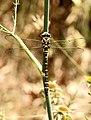 Libélula - Libèl·lula - Dragonfly - Cordulegaster boltonii (5163724352).jpg
