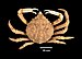 Portly Spider Crab - Photo   Eric A. Lazo-Wasem, no known copyright restrictions (public domain)