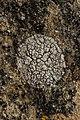 Lichen (28147761747).jpg