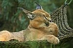 A caracal hanging out at the San Diego Zoo