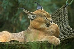 Lightmatter caracal.jpg
