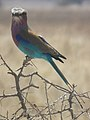 Lilac breasted roller in Tanzania 0560 cropped Nevit.jpg