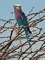 Lilac breasted roller in Tanzania 0645 cropped Nevit.jpg