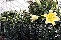 Lilium Conca dOr 9zz.jpg