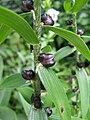 Lilium lancifolium bulbils.jpg