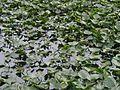 Lillypads on a pond.jpg