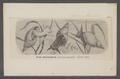 Limnaea stagnalis - - Print - Iconographia Zoologica - Special Collections University of Amsterdam - UBAINV0274 088 04 0002.tif