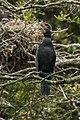 Little Black Cormorant - Stewart Island - New Zealand (39124016912).jpg