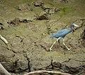 Little Blue Heron Egretta caerulea (41170272660).jpg