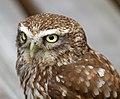 Little Owl (5934273538).jpg
