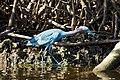Little blue heron (Egretta caerulea).jpg