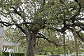 Live oak tree outside LBJ Ranch IMG 1511.JPG
