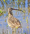 Long-billed Curlew, Laguna Atascosa National Wildlife Refuge (5610297013).jpg
