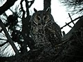 Long-eared Owl, Columbia Falls, MT, July 4, 2012 (25113328191).jpg