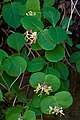 Lonicera reticulata.jpg