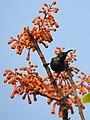 Loten's Sunbird Cinnyris lotenius Male DSCN0107 (14).jpg