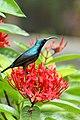Loten's sunbird - Male.(Cinnyris lotenius) കൊക്കൻ തേൻകിളി ..jpg