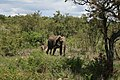 Loxodonta africana 1.jpg